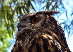 Macro Monday: great gray owl