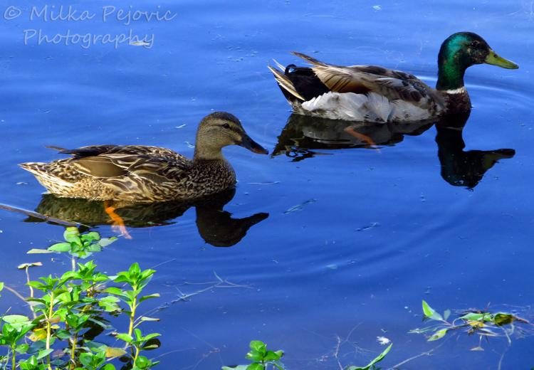 Mallard duck couple