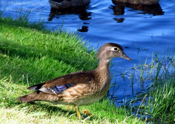 Juvenile wood duck