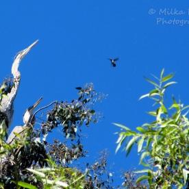 WordPress weekly photo challenge: The world through my eyes - great blue herons
