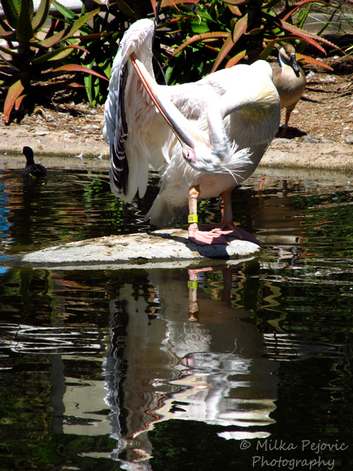 Travel theme: Ripples - water reflection of a white pelican