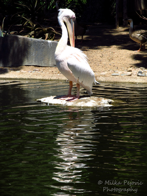 Travel theme: Ripples - White pelican reflecting in the water