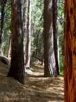 Cee's Which Way Challenge: hiking trail among pine trees