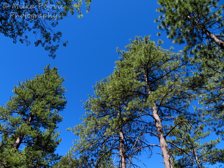 Simplicity of blue sky above the pine trees