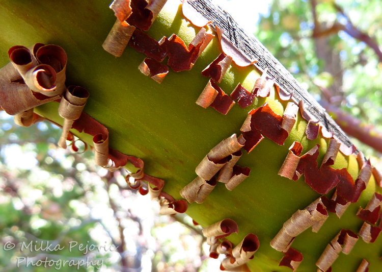 Wordpress weekly photo challenge: an unusual POV - manzanita tree bark peeling off