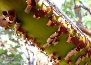 Wordpress weekly photo challenge: an unusual POV - manzanita tree bark peeling off