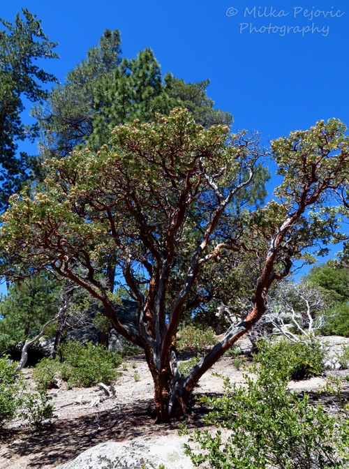 Manzanita tree in Southern California