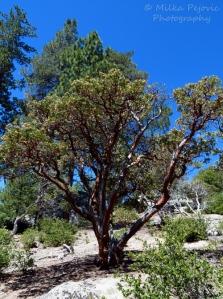Manzanita tree in Southern California