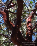 Manzanita red tree bark peeling off