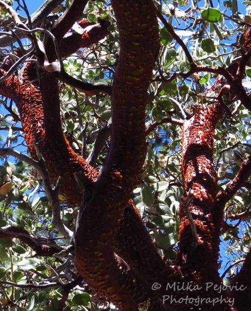 Manzanita red tree bark peeling off