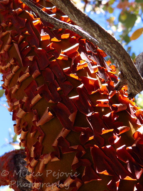 Close-up of the manzanita tree bark