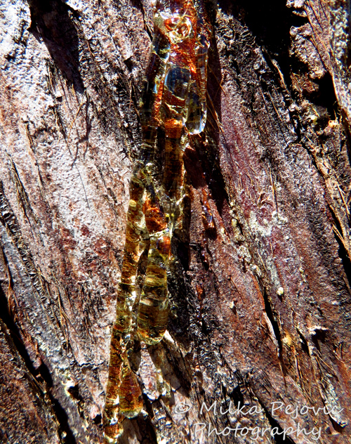 Macro Monday: colorful pine tree sap