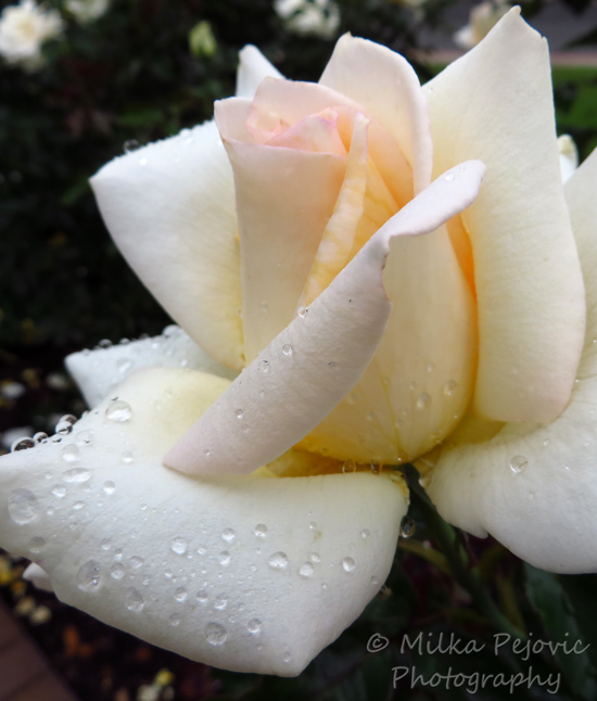 Floral Friday Fotos: Water drops on a white rose's petals