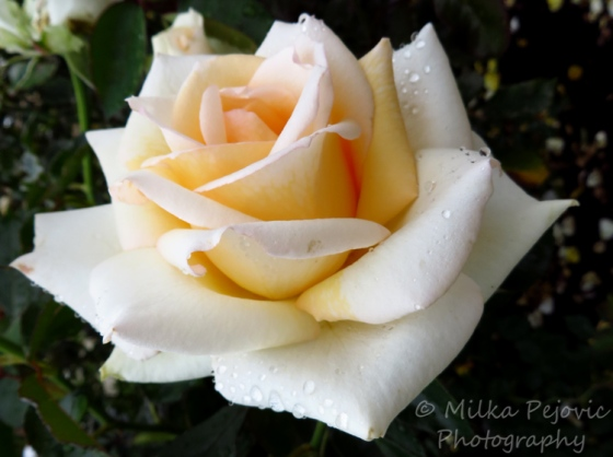 Floral Friday Fotos: Water drops on a white rose