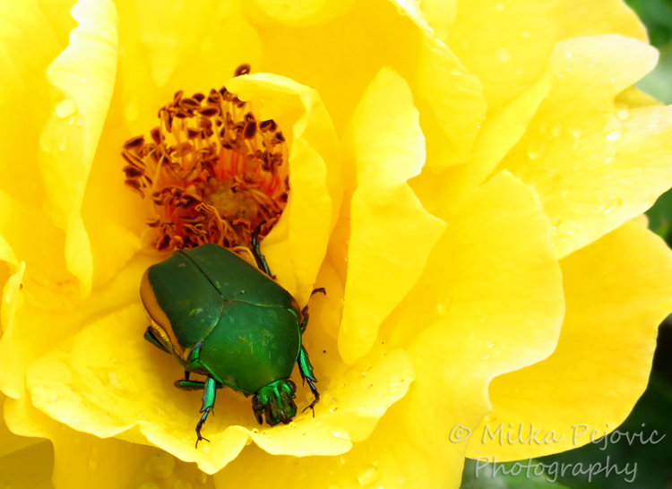 Wordpress weekly photo challenge: Junebug beetle inside rose