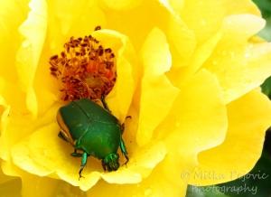 Wordpress weekly photo challenge: Junebug beetle inside rose