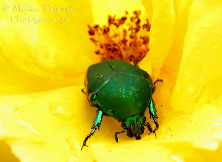 Travel theme: Hidden green junebug beetle