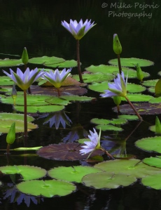 Floral Friday Fotos: Purple water lilies