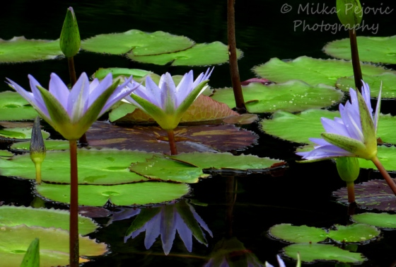 Cee's fun foto challenge: white and purple water lilies
