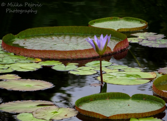 Large lily pads and purple water lily flowers