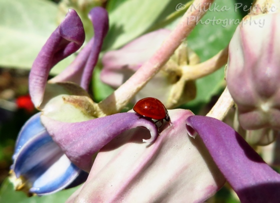Red ladybug on a milkweed flower