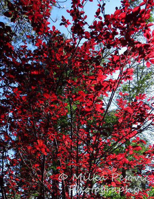 Ornamental plum tree with red leaves in the sun