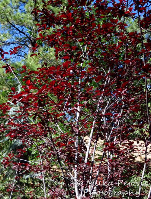Ornamental plum tree with dark red leaves
