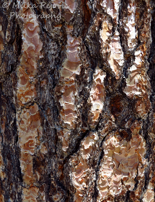 Macro Monday: Pine tree bark