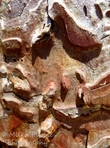 The grooves of pine tree bark
