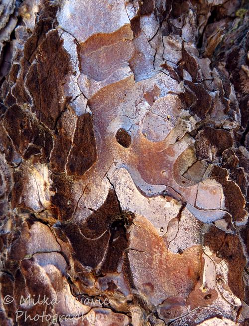 Close-up of pine tree bark