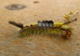 Fuzzy caterpillar
