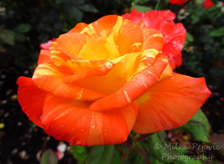 Wordpress weekly photo challenge: One shot, two ways - orange rose
