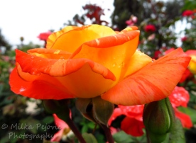 Wordpress weekly photo challenge: One shot, two ways - orange rose from the side