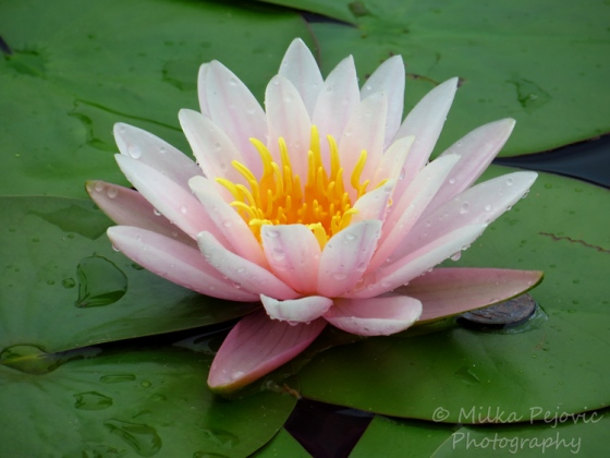 Floral Friday Fotos: Light pink water lily