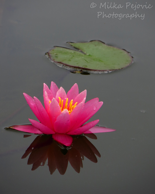 Pink waterlily reflecting in the water