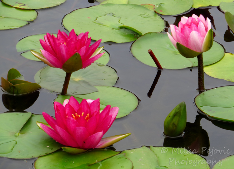 Floral Friday Fotos: Pink water lilies and lily pads