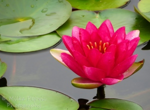 Close-up of bright pink water lily