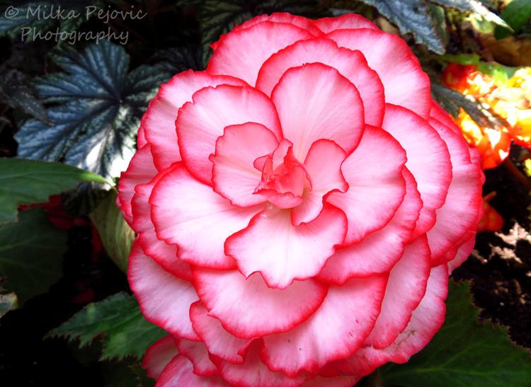 Pink Picotee tuberous begonia - begonia tuberhybrida