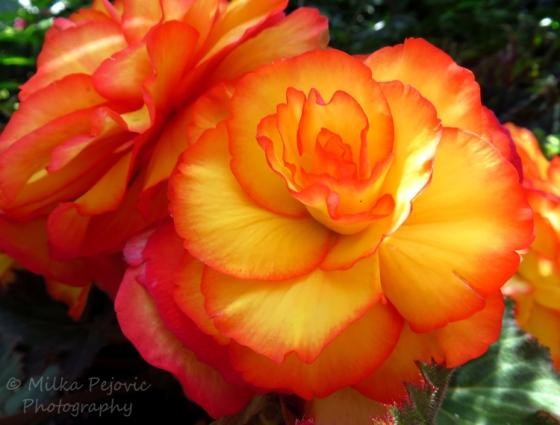 Orange Picotee tuberous begonia - begonia tuberhybrida