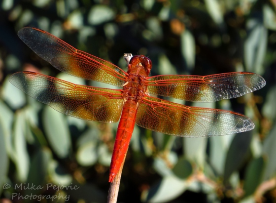 Travel theme: Wild - orange dragonfly