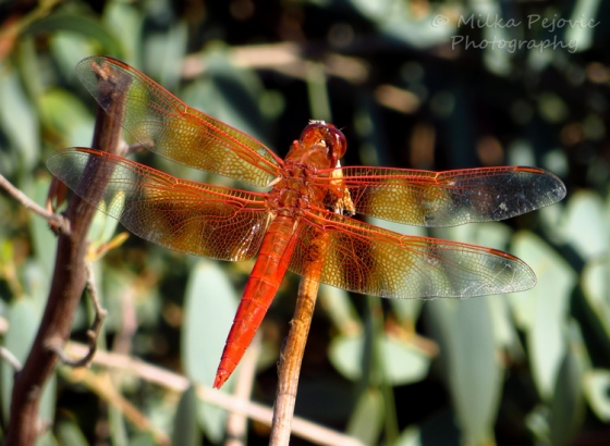 Travel theme: Wild - orange dragonfly resting on a branch
