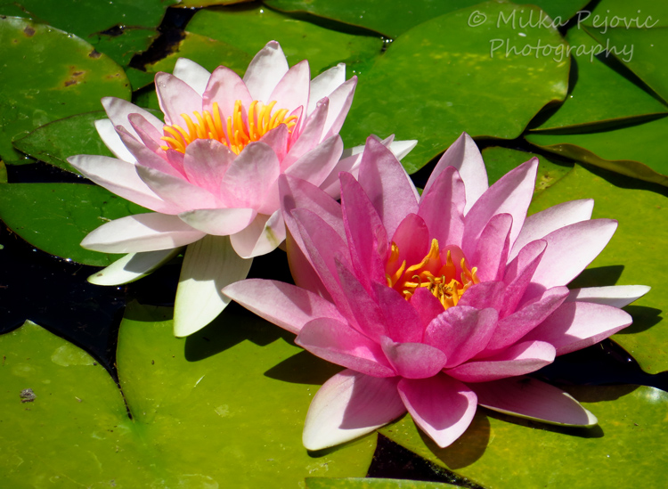 A Word A Week Challenge - Pink water lilies
