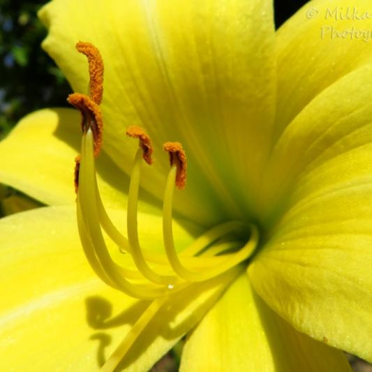 Macro Monday: yellow lily pistils