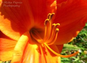 Macro Monday: orange lily pistils