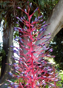 A Word A Week Challenge - Pink and purple bromelia blooms