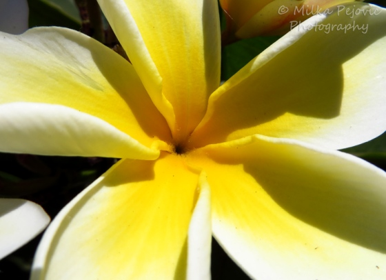 Close-up of a yellow plumeria flower