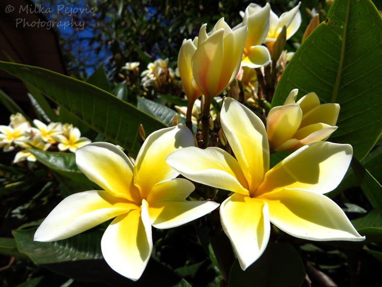 A word a week: yellow plumeria flowers
