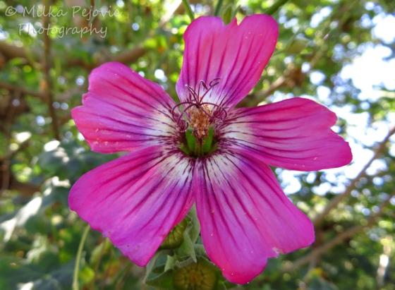 A Word A Week Challenge - Pink island mallow flower
