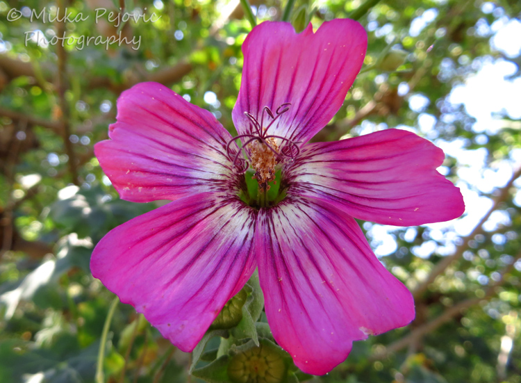 A Word A Week Challenge - Pink island mallow flower