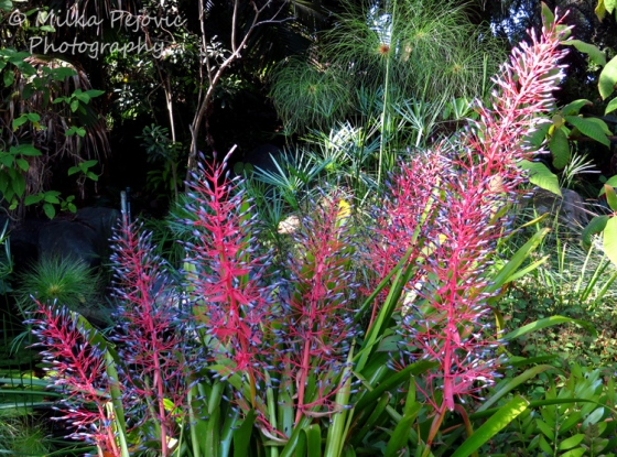 A Word A Week Challenge - Pink and purple bromelia flowers